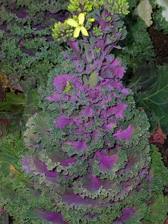 Ornamental cabbage gone to flower by cosmosgarden, via Flickr
