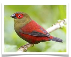 Red-faced Crimsonwing (Cryptospiza reichenovii) for sale at The Finch Farm - Buy birds online and find your favorite pet bird for sale at www. Pretty Birds, Love Birds, Beautiful Birds, Birds 2, Small Birds, Birds For Sale, Buy Birds, Ohio Birds, Exotic Birds