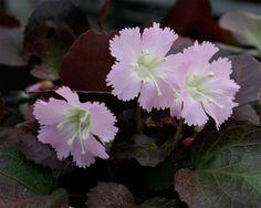 shortia uniflora large type