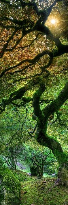 Amazing Japanese Maple at the Portland Japanese Garden, Oregon Only our Mother Nature could produce such a tree. How amazingly beautiful. Beautiful World, Beautiful Places, Beautiful Forest, Foto Nature, Portland Japanese Garden, Japanese Gardens, Dame Nature, Tree Forest, Magical Forest