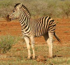 800px-Zebra_standing_alone_crop