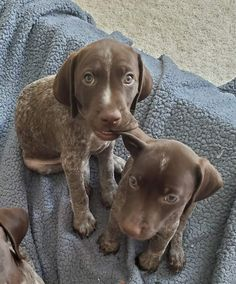 Gsp Puppies, Pointer Puppies, Cute Puppies, Cute Dogs, Cute Animal Pictures, Dog Pictures, Cute Baby Animals, Funny Animals, Animals Dog