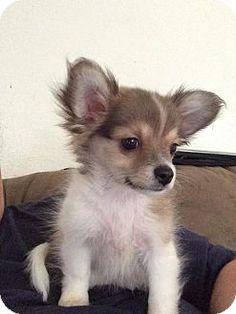 Trenton, NJ - Pomeranian/Chihuahua Mix. Meet Whiskey, a puppy for adoption. http://www.adoptapet.com/pet/12948258-trenton-new-jersey-pomeranian-mix