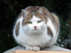 Debeljuškasta maca.