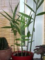 Jak hodować imbir Herb Garden, Vegetable Garden, Garden Plants, Geraniums, Container Gardening, Flower Power, Flowers, Fun, Roses