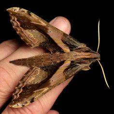 Hawk moth, Xylophanes sp., Sphingidae