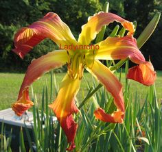 CURLY BRICK ROAD    DF Spider daylily  Beautiful!      G03-24