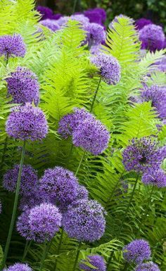8 Best And Wonderful Planting Combination Ideas For Beautiful Garden My Favorite Plant Combinations 67 Garden Shrubs, Shade Garden, Garden Plants, Garden Landscaping, Purple Garden, Landscaping With Grasses, Landscaping Ideas, Landscaping Front Of House, Inexpensive Landscaping