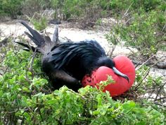 Resourceful (and exhausted) frigate bird uses his pouch as a pillow for afternoon nap in the Galapagos