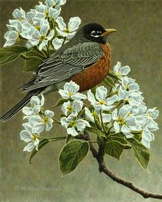 Dressed For Spring - American Robin