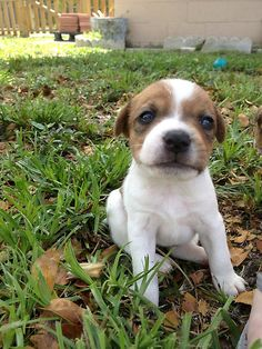 One of my dog's Jack Russell Terrier Puppies