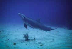 Scuba+Diving+with+Dolphins | Dolphin - Scuba Dive - St Martin - Sint Maarten