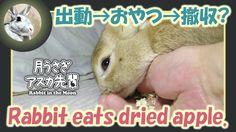 出動→おやつ→撤収?【ウサギのだいだい 】Rabbit eats dried apple. 2016年6月4日