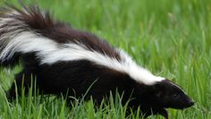 Enlever l'odeur de moufette sur votre animal, dans votre maison ou encore sur vous! Découvrez de bonnes astuces pour éliminer rapidement cette mauvaise odeur de moufette.