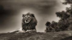 Lion (1920x1290) Wallpaper, Animals, lion, Aslan, Lions, Tigers, Kaplan, Puma, Hayvan, Kedigiller, Mammalia, Memeli, Carnivora, Etçil, Felidae, Kedigiller, Pantherinae, Büyük kediler, Arslan, Panthera leo, Panthera, Löwe