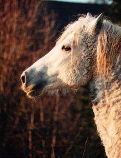 Bashkir  Curly Horse  AKA poodle horse.  hypo allergenic breed of horse