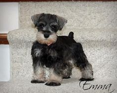 Miniature schnauzer puppy  Schnauzersofstonebrooke.com