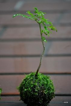 mini kokedama of Fraxinus griffithii