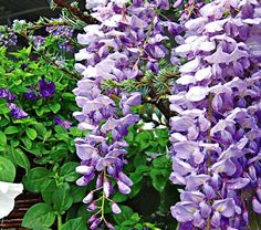 Wisteria 'Lavendar Falls' - smells like grape jelly!!!  Must have!