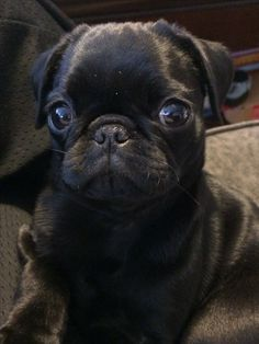 Black pug puppy!  So cute!