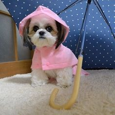 Discover Smart Shih Tzu Puppies Exercise Needs Shitzu Puppies, Cute Puppies, Cute Dogs, Puppys, Teacup Puppies, Yorkies, Shih Tzu Puppy, Shih Tzus, Pet Meds