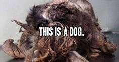 While driving down a busy street in Montreal, an anonymous driver spotted a dirty, matted and starving animal desperately in search for food. That driver contacted the Quebec Society for the Protection of Animals who took the dog in, got him cleaned up, and couldn't believe what they found. A bath, a haircut, some food,... View Article