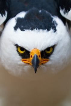 Black and White Hawk Eagle