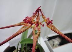 rare bulbophyllum agasto magnifico | Bulbophyllum jolandae | Bulbophyllum | Pinterest
