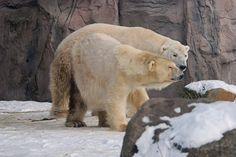 Eisbären Fanny und Elvis in der Zoom Erlebniswelt in Gelsenkirchen by Ulli J., via Flickr