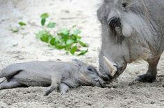Warthog mom and baby love!