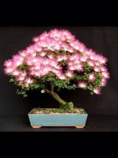 """Blooming bonsai/ She adds one in her tent in the Spring, to brighten up the place and really get """"in tune"""" with Neverland OOH OOH OOH OR ALIS LIFE TREE Kinda like the death trees in KOTLC (maybe for when she leaves, right before, they plant the tree to honor her) (See KOTLC to see how it works) Each of the boys (Aside from Peter) get a life tree that resembles their aura, and grows for them by their tent, but twist, Ali's starts to die"""