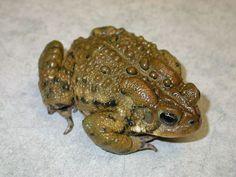 Toad - Western North American Amphibians, Reptiles, Toad, American, Animals, Dart Frogs, Animales, Animaux, Animais