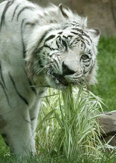 """Kumar"" the White Bental Tiger chews on ornamental grass in Zoo, Erie, PA; photo by Greg Wohlford"