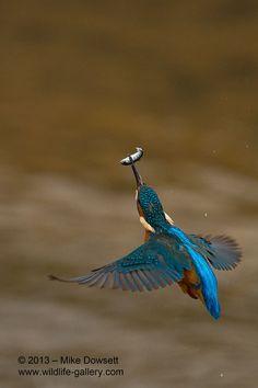 Kingfisher in flight. Photograph: Mike Dowsett.