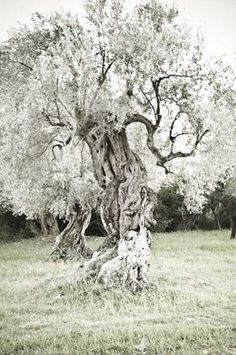 Olive Grove, Majorca Majorca, Olives, Olive Oil, Royals, Spain, To Go, Poetry, Trees, Gardens