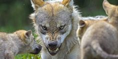 Link Between Wolves, Dogs May Be More Complicated Than We Thought