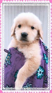 Golden Retriever Puppy For Sale In Missouri City Tx Adn 70324 On