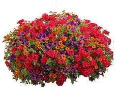 Here is a high contrast combination of verbena Tukana Scarlet Star and two Superbells Plum and Dreamsicle called 'Plum Obvious' Proven Winners Hanging Flower Baskets, Flower Planters, Garden Planters, Container Flowers, Container Plants, Container Gardening, Container Size, Blooming Flowers, Summer Flowers