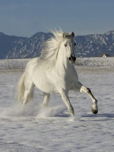 Free spirited Andulusian in the surf: http://cache2.allpostersimages.com/p/LRG/21/2144/WEBCD00Z/posters/walker-carol-gray-andalusian-stallion-cantering-in-snow-longmont-colorado-usa.jpg