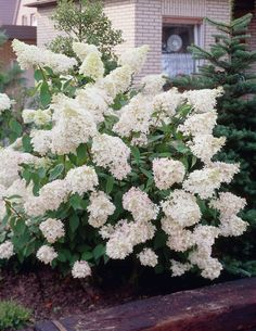 Hydrangea paniculata Phantom has one of the largest flower heads of all paniculata Hydrangea varieties - truly a sight to behold when in full bloom! The huge upright white panicles cover the plants in early summer, starting off ghostly white in Hydrangea Paniculata Grandiflora, Hydrangea Varieties, Hydrangea Bloom, Hydrangeas, Hydrangea Landscaping, Landscaping Ideas, Clematis Armandii, Garden Express, Outdoor Flowers