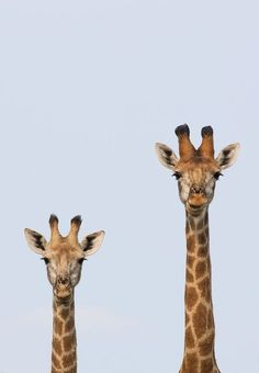 We were watching 2 male giraffes for half an hour while they were trying to mount each other in a display of dominance, I looked in my rear view mirror and saw we weren't the only ones trying to see what's going on, this just made the sighting more humorous and special.