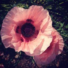 Beautiful Pink poppy x