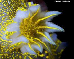 Hypselodoris Picta-Glassodoride Maggiore   ;)