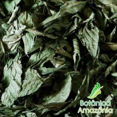 Psychotria viridis - Chacrona