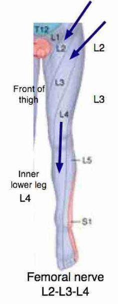 sciatic nerve pain in leg | femoral nerve : roots l2, l3 & l4, Muscles