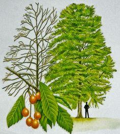watercolour of wild cherry tree, Gean-crann silíní fiáin