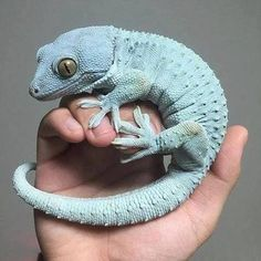 Gecko lovr