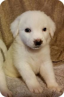 6/29/14 Ascutney, VT - Great Pyrenees/Golden Retriever Mix. Meet Cami in New England, a puppy for adoption. http://www.adoptapet.com/pet/11072802-ascutney-vermont-great-pyrenees-mix