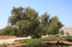 Marocco - Essaouira -     L'olio di Argan ...