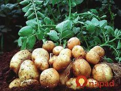Zemiaky sadím až v júni a úrodu mám dvakrát väčšiu ako sused: Urobte to presne takto a tešte sa na obrovské, zdravé zemiaky!